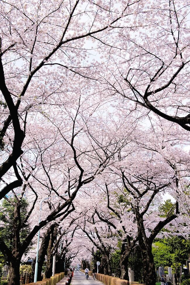 2014-japanese-cherry-blossom-blooming-sakura-11