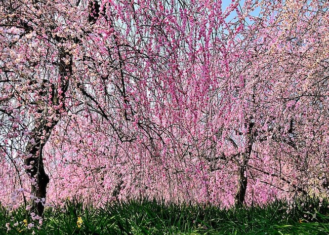 2014-japanese-cherry-blossom-blooming-sakura-14