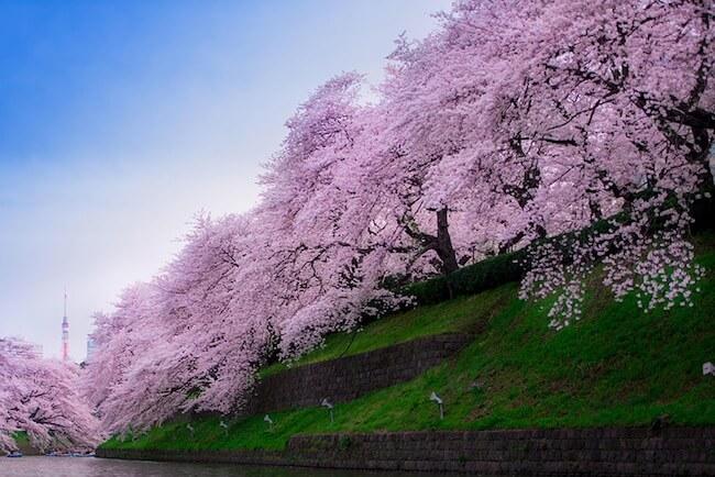 2014-japanese-cherry-blossom-blooming-sakura-21