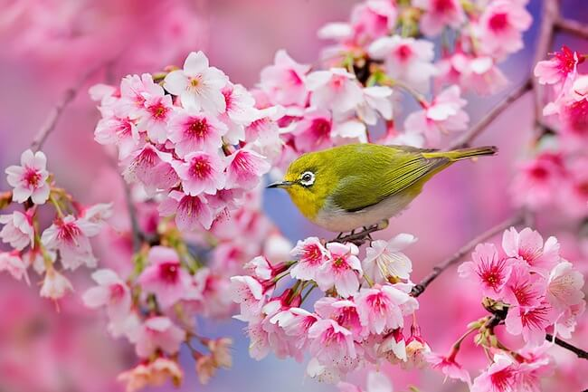 2014-japanese-cherry-blossom-blooming-sakura-23