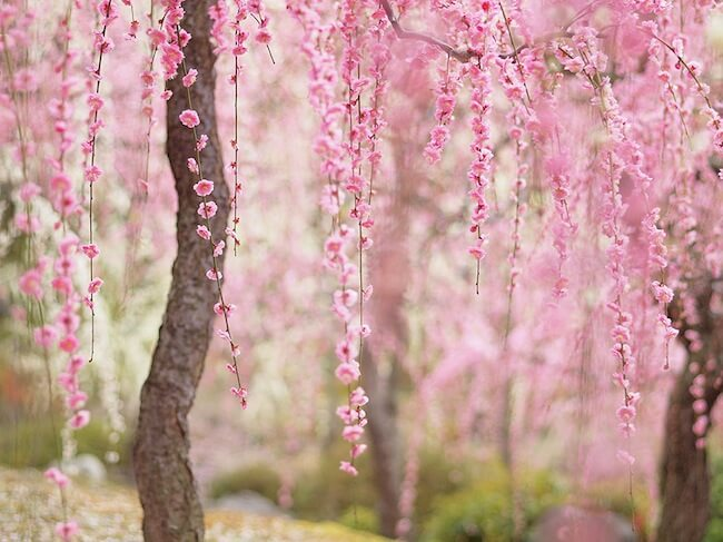 2014-japanese-cherry-blossom-blooming-sakura-25