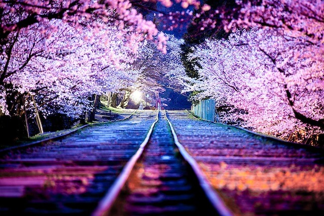 2014-japanese-cherry-blossom-blooming-sakura-26