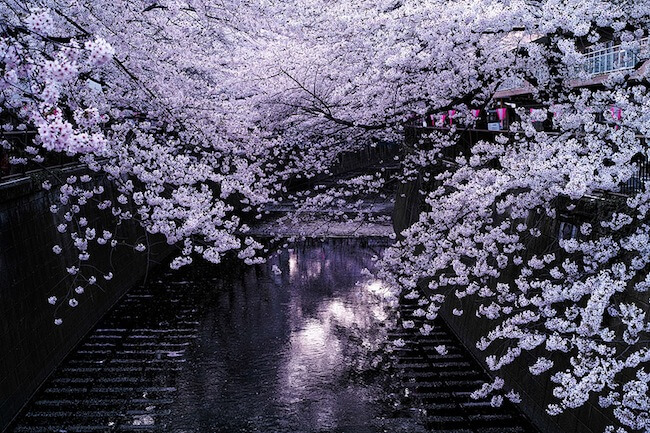 2014-japanese-cherry-blossom-blooming-sakura-28