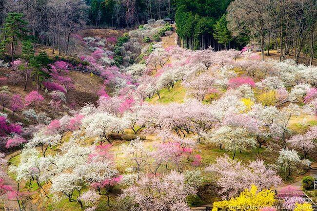 2014-japanese-cherry-blossom-blooming-sakura-3