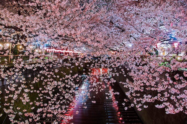 2014-japanese-cherry-blossom-blooming-sakura-4