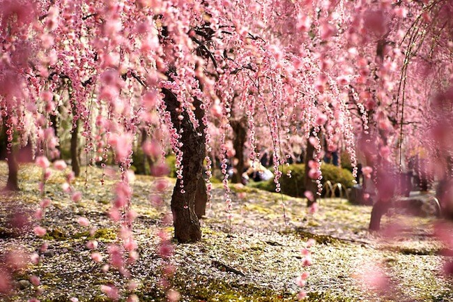 2014-japanese-cherry-blossom-blooming-sakura-5