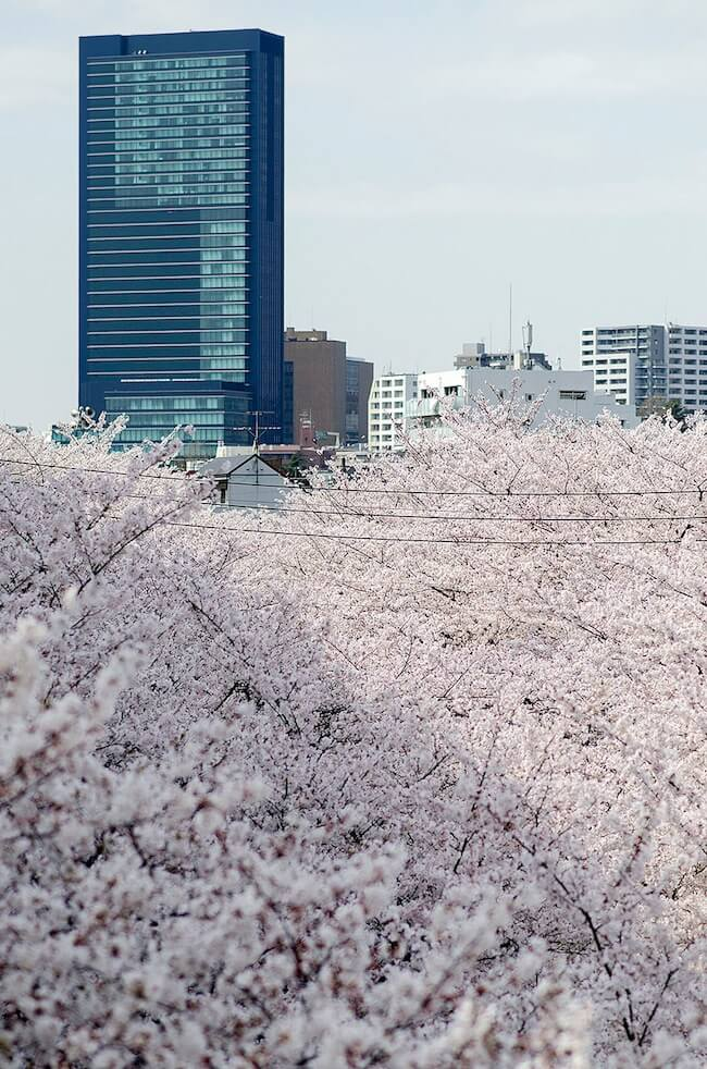 2014-japanese-cherry-blossom-blooming-sakura-6