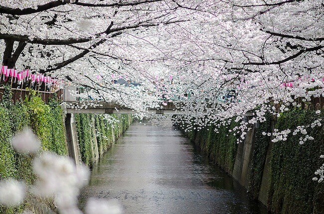 2014-japanese-cherry-blossom-blooming-sakura-7