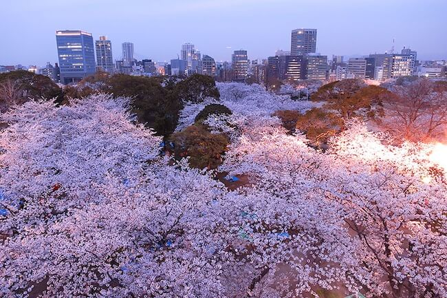 2014-japanese-cherry-blossom-blooming-sakura-9