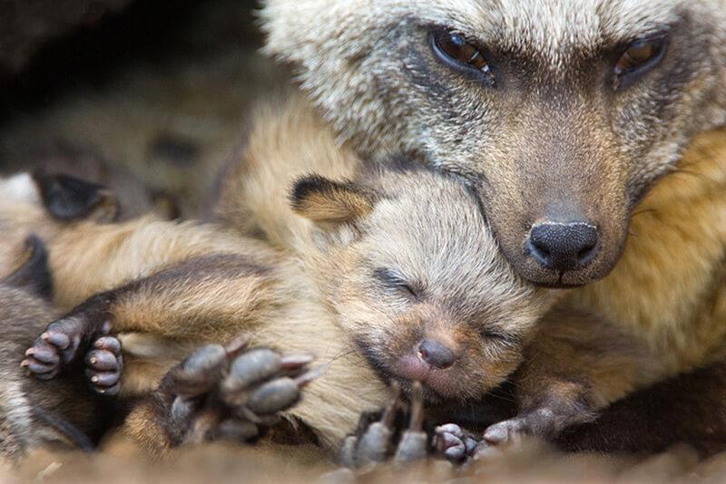 aardwolf (lobo da terra)
